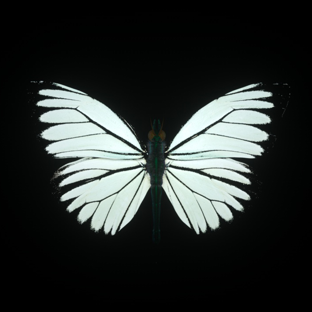 Papillon_04