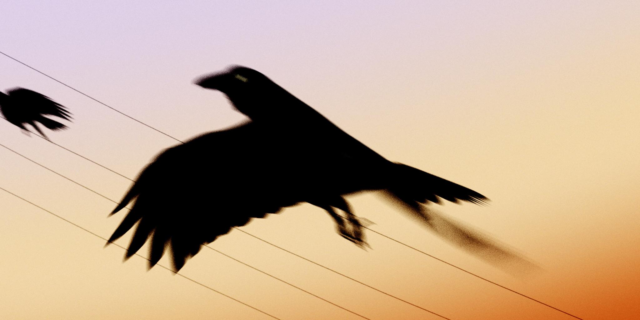 Crow_01